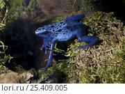 Купить «Blue Poison Dart Frog (Dendrobates azureus) captive, from Suriname», фото № 25409005, снято 29 мая 2020 г. (c) Nature Picture Library / Фотобанк Лори