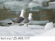 Купить «Two Common / Mew gulls (Larus canus) on ice floe, Tracy Arm, South East Alaska, USA», фото № 25409117, снято 23 сентября 2018 г. (c) Nature Picture Library / Фотобанк Лори