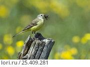 Купить «Yellow Wagtail (Motacilla flava flavissima) female with beak full of food, Upper Teesdale, Co Durham, England. UK», фото № 25409281, снято 18 августа 2018 г. (c) Nature Picture Library / Фотобанк Лори
