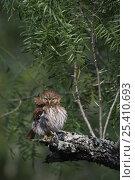 Ferruginous Pygmy Owl {Glaucidium brasilianum} adult preening, Rio Grande Valley, Texas, USA, May. Стоковое фото, фотограф Rolf Nussbaumer / Nature Picture Library / Фотобанк Лори