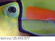 Купить «Keel billed Toucan (Ramphastos sulfuratus), close-up of face, Costa Rica», фото № 25410977, снято 27 июня 2019 г. (c) Nature Picture Library / Фотобанк Лори