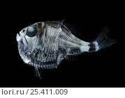 Deep-sea hatchetfish {Argyropelecus olfersi} Atlantic ocean. Стоковое фото, фотограф Solvin Zankl / Nature Picture Library / Фотобанк Лори