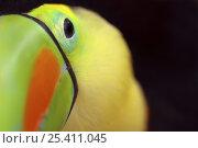 Купить «Keel billed toucan (Ramphastos sulfuratus), Costa Rica», фото № 25411045, снято 20 мая 2019 г. (c) Nature Picture Library / Фотобанк Лори