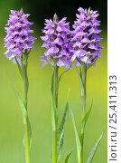 Купить «Spotted heath orchid {Dactylorhiza maculata} Dartmoor, Devon, UK. June», фото № 25411313, снято 21 марта 2018 г. (c) Nature Picture Library / Фотобанк Лори