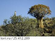 Купить «Meerkat (Suricata suricatta) standing on guard at top of bush, South Africa», фото № 25412289, снято 4 августа 2020 г. (c) Nature Picture Library / Фотобанк Лори