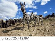 Common zebra {Zebra burchelli} amongst herd of migrating Wildebeest {Connochaetes taurinus} Masai Mara GR, Kenya. Стоковое фото, фотограф Anup Shah / Nature Picture Library / Фотобанк Лори