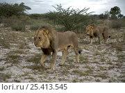 Купить «Two male African Lions (Panthera leo) walking through scrubland, Kalahari Desert, Botswana», фото № 25413545, снято 16 июля 2020 г. (c) Nature Picture Library / Фотобанк Лори