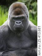 Купить «Head portrait of male silverback western lowland gorilla (Gorilla gorilla gorilla) captive, France», фото № 25413681, снято 24 июля 2019 г. (c) Nature Picture Library / Фотобанк Лори