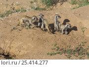 Купить «Four young Meerkats / Suricates (Suricata suricatta), Kgalagadi Transfrontier Park, Kalahari desert, South Africa», фото № 25414277, снято 5 августа 2020 г. (c) Nature Picture Library / Фотобанк Лори