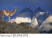 Guanaco {Lama guanicoe} with the Cuernos del Paine Mountains behind, Torres del Paine NP, Patagonia, Chile. Стоковое фото, фотограф Inaki Relanzon / Nature Picture Library / Фотобанк Лори