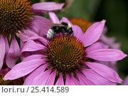 Купить «Bumble Bee {Bombus terrestris} gathering pollen and nectar from Purple Coneflower {Echinacea purpurea} UK», фото № 25414589, снято 11 июля 2020 г. (c) Nature Picture Library / Фотобанк Лори