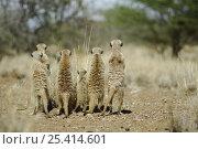 Купить «Meerkat (Suricata suricatta) rear view of group standing on guard, South Africa», фото № 25414601, снято 3 апреля 2020 г. (c) Nature Picture Library / Фотобанк Лори