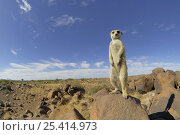 Купить «Meerkat (Suricata suricatta) standing on guard looking out over landscape, South Africa», фото № 25414973, снято 5 августа 2020 г. (c) Nature Picture Library / Фотобанк Лори