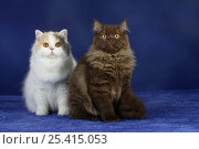 Купить «Two British Longhair Cats sitting together», фото № 25415053, снято 17 августа 2018 г. (c) Nature Picture Library / Фотобанк Лори