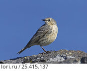 Rock pipit (Anthus petrosus) on rock against blue sky, Porvoo, Finland, May. Стоковое фото, фотограф Markus Varesvuo / Nature Picture Library / Фотобанк Лори