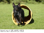 Купить «Mixed Breed Dog running through a tunnel», фото № 25415153, снято 26 марта 2019 г. (c) Nature Picture Library / Фотобанк Лори