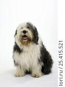 Купить «Old English Sheepdog / Bobtail sitting», фото № 25415521, снято 20 августа 2018 г. (c) Nature Picture Library / Фотобанк Лори