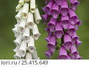 Купить «Common foxglove (Digitalis purpurea), white and purple cultivars, Europe», фото № 25415649, снято 22 июля 2018 г. (c) Nature Picture Library / Фотобанк Лори