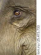 Купить «Close up of Indian elephant eye (Elephas maximus), captive animal used by anti-poaching patrols, Alaungdaw Kathapa National Park, north-west Burma (Myanmar)», фото № 25415733, снято 26 февраля 2020 г. (c) Nature Picture Library / Фотобанк Лори
