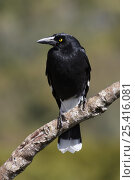 Купить «Pied Currawong (Strepera graculina) on branch, adult, South Australia», фото № 25416081, снято 23 июля 2019 г. (c) Nature Picture Library / Фотобанк Лори