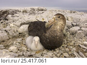 Купить «Giant petrel (Macronectes giganteus) parent and chick on their nest, western Antarctic Peninsula, Southern Ocean», фото № 25417061, снято 5 августа 2020 г. (c) Nature Picture Library / Фотобанк Лори