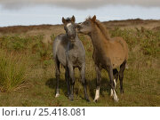 Купить «Domestic Pony / Horse {Equus caballus} two foals, one nuzzling the other, Long Mynd, Shropshire, UK», фото № 25418081, снято 17 августа 2018 г. (c) Nature Picture Library / Фотобанк Лори
