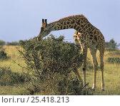 Giraffe (Giraffa camelopardalis) foraging in the Masai Mara, Kenya. Стоковое фото, фотограф Jack Dykinga / Nature Picture Library / Фотобанк Лори