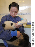 Купить «Giant panda (Ailuropoda melanoleuca) baby, 5 months old being bottle fed at Wolong's nursery, Wolong Nature Reserve, China», фото № 25418365, снято 14 октября 2019 г. (c) Nature Picture Library / Фотобанк Лори