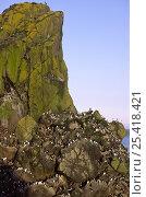 Купить «Guillemots and Razorbills on Harp Rock, Lunga, Treshnish Isles, Isle of Mull, Scotland, UK», фото № 25418421, снято 17 декабря 2018 г. (c) Nature Picture Library / Фотобанк Лори