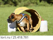Купить «German Boxer wearing a harness and running through a tunnel», фото № 25418781, снято 20 июля 2018 г. (c) Nature Picture Library / Фотобанк Лори