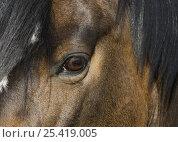 Купить «Close up of eye of a Paint Mare, Berthoud, Colorado, USA», фото № 25419005, снято 16 августа 2018 г. (c) Nature Picture Library / Фотобанк Лори