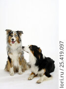 Tricolour Australian Shepherd dog with a blue-merle Australian Shepherd dog. Стоковое фото, фотограф Petra Wegner / Nature Picture Library / Фотобанк Лори