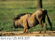 Blue wildebeest (Connochaetes taurinus) covered in soil after rolling on the ground, Kgalagadi Transfrontier NP, South Africa. Стоковое фото, фотограф Pete Oxford / Nature Picture Library / Фотобанк Лори