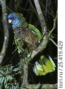 Купить «St Lucia amazon {Amazona versicolor} male, captive, from St Lucia, West Indies», фото № 25419429, снято 7 декабря 2019 г. (c) Nature Picture Library / Фотобанк Лори