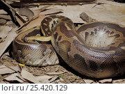 Купить «Blood Python (Python curtus) Captive, native to SE Asia», фото № 25420129, снято 21 сентября 2019 г. (c) Nature Picture Library / Фотобанк Лори