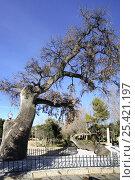 Ancient Holm oak tree (Quercus ilex) and fallen trunk in park, Ibi, Alicante, Spain. Стоковое фото, фотограф Jose B. Ruiz / Nature Picture Library / Фотобанк Лори