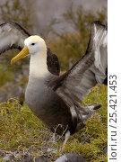 Купить «Waved albatross (Phoebastria irrorata) courtship display, Española Island, Galapagos», фото № 25421453, снято 16 февраля 2019 г. (c) Nature Picture Library / Фотобанк Лори