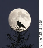 Купить «Hooded Crow (Corvus cornix) silhouetted against the full moon, Helsinki, Finland, December», фото № 25421689, снято 16 декабря 2018 г. (c) Nature Picture Library / Фотобанк Лори