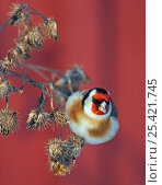 Купить «Goldfinch (Carduelis carduelis) on seedheads, Helsinki Finland December. Magic Moments book plate.», фото № 25421745, снято 19 марта 2019 г. (c) Nature Picture Library / Фотобанк Лори