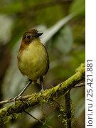 "Купить «Yellow-breasted Antpitta (Grallaria flavotincta) ""Paz de las Aves"" cloud forest, Andes, Pichincha, Ecuador», фото № 25421881, снято 26 марта 2019 г. (c) Nature Picture Library / Фотобанк Лори"