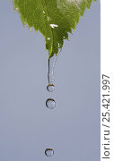 Купить «Water dripping from a Rose leaf,  UK», фото № 25421997, снято 21 сентября 2018 г. (c) Nature Picture Library / Фотобанк Лори