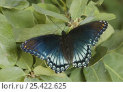Купить «Red-Spotted Purple butterfly {Limenitis arthemis astyanax} on Lacey Oak leaf (Quercus laceyi) Hill Country, Texas, USA», фото № 25422625, снято 25 апреля 2018 г. (c) Nature Picture Library / Фотобанк Лори