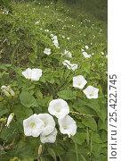 Купить «Hedge bindweed (Calystegia sepium) England, UK, August», фото № 25422745, снято 19 августа 2018 г. (c) Nature Picture Library / Фотобанк Лори
