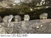 Rock hyrax {Procavia capensis} in rock crevice, Masai Mara GR, Kenya. Стоковое фото, фотограф Anup Shah / Nature Picture Library / Фотобанк Лори