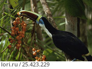 Купить «Channel billed toucan {Ramphastos vitellinus} feeding fruit in rainforest, Amazonia, Brazil», фото № 25423229, снято 18 июня 2019 г. (c) Nature Picture Library / Фотобанк Лори