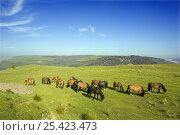 Welsh Cob horses {Equus caballus} grazing on hills above Llyn Brianne Reservoir, Wales, UK. Стоковое фото, фотограф David Kjaer / Nature Picture Library / Фотобанк Лори