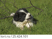 Купить «Border Collie, 6-week puppy, lying on grass chewing twig, UK», фото № 25424101, снято 26 марта 2019 г. (c) Nature Picture Library / Фотобанк Лори