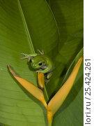 Купить «White lipped Tree Frog (Litoria infrafrenata) on a heliconia, Queensland, Australia», фото № 25424261, снято 6 августа 2020 г. (c) Nature Picture Library / Фотобанк Лори