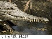Australian freshwater crocodile (Crocodylus Johnsoni), Queensland... Стоковое фото, фотограф Jurgen Freund / Nature Picture Library / Фотобанк Лори