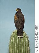 Harris' Hawk (Parabuteo unicinctus) perched on saguaro cactus, Arizona... Стоковое фото, фотограф John Cancalosi / Nature Picture Library / Фотобанк Лори